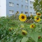 Gartnertreff_2015-09-16_Sonnenblumen